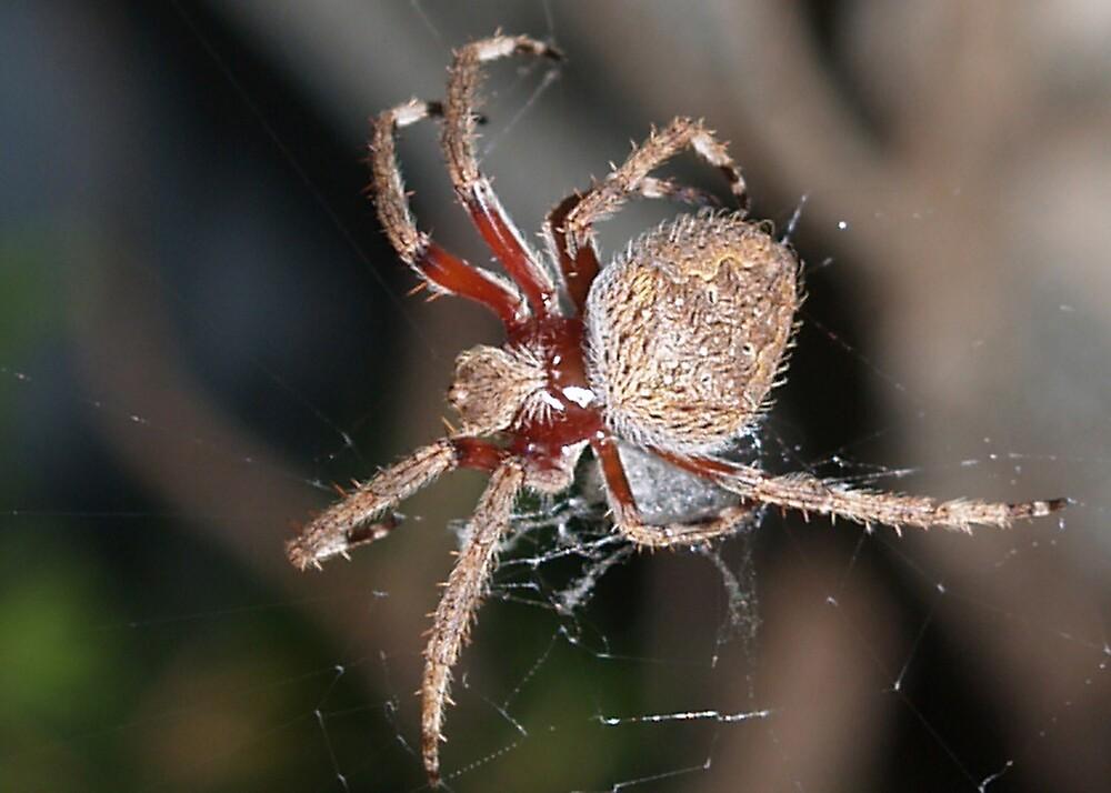Garden Spider 2 by Adrian Lord
