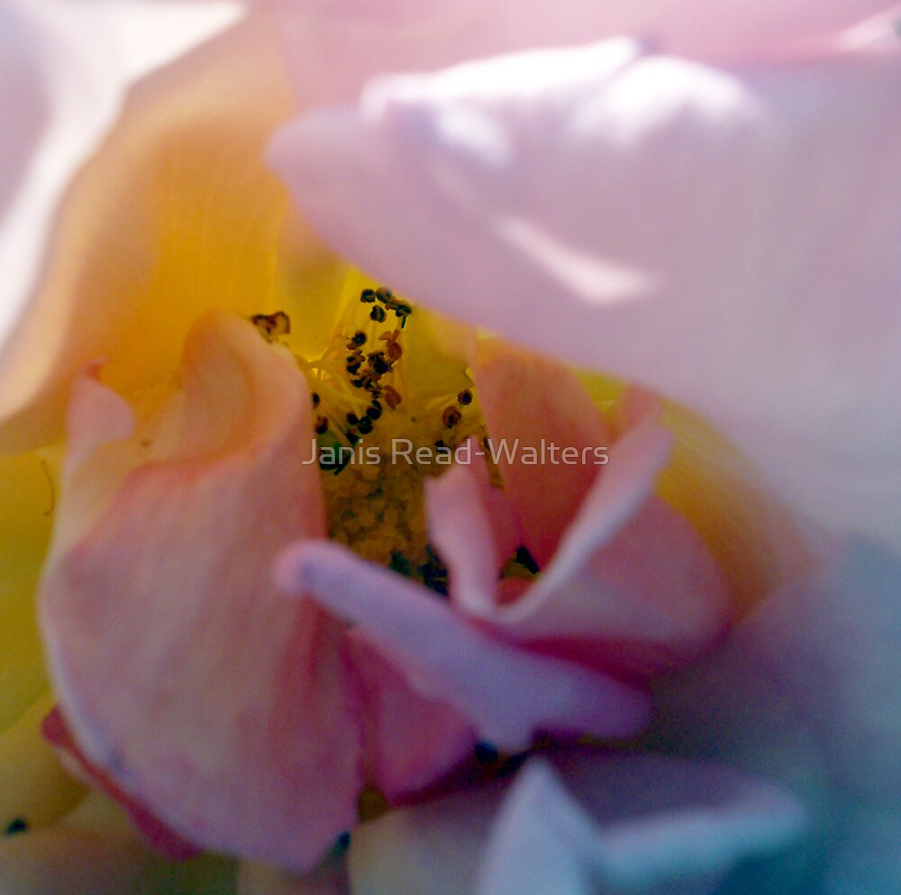soft petals by Janis Read-Walters