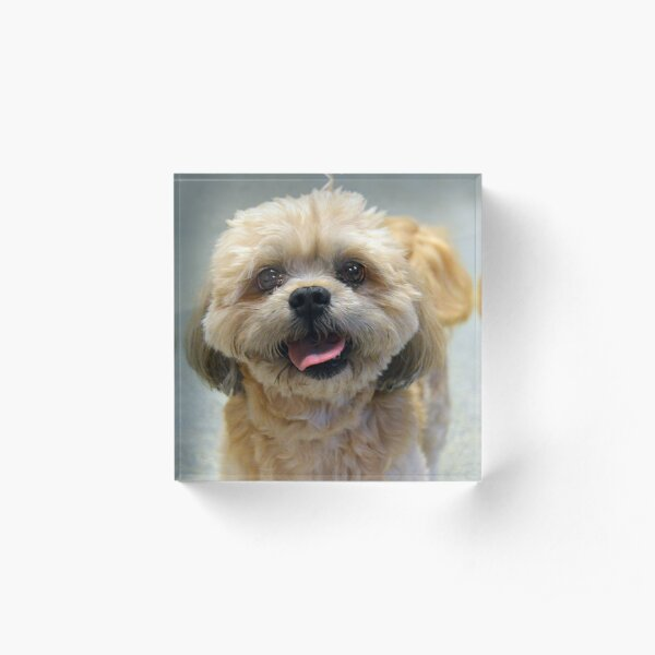 Smiling Shih Tzu Dog Acrylic Block