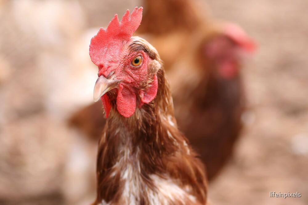 Chicken by lifeinpixels