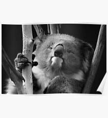 Koala 1 B&W Poster