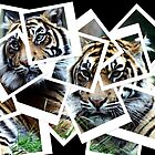 Photographs of Tigers by Wayne Gerard Trotman