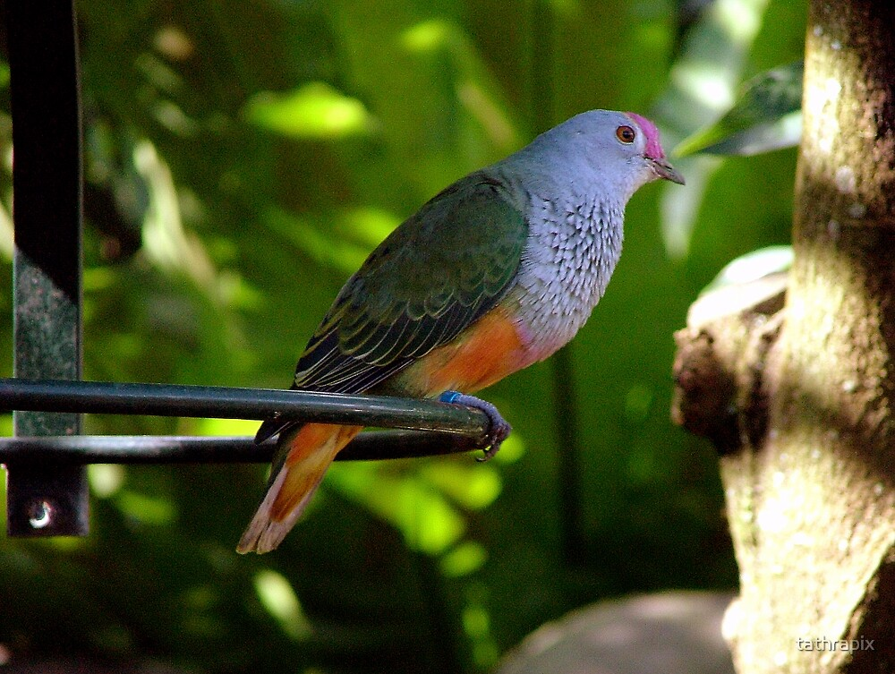 Rose Crowned Fruit Dove. by tathrapix