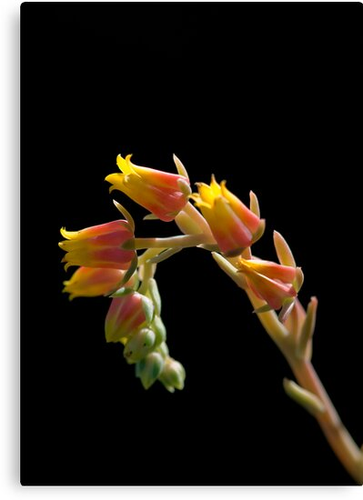 Cactus Flower by Malcolm Garth