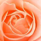 Rose by Malcolm Garth