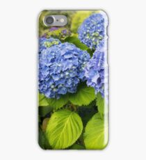 Blue hydrangea blooming bright blue flowers in the garden iPhone Case/Skin