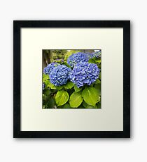 Blue hydrangea blooming bright blue flowers in the garden Framed Print