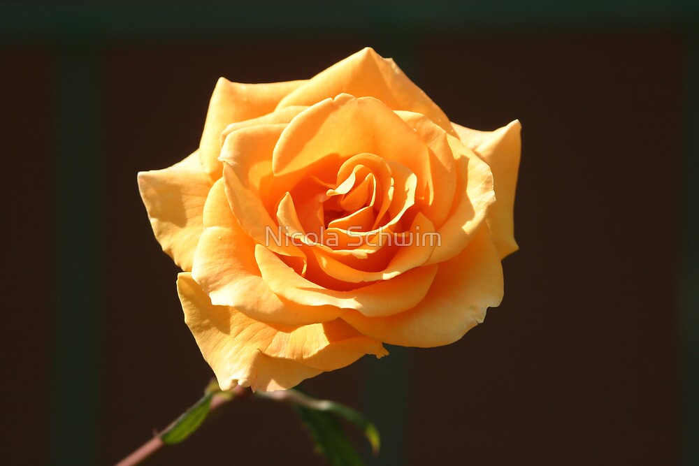 Yellow Rose by Nicola Schwim