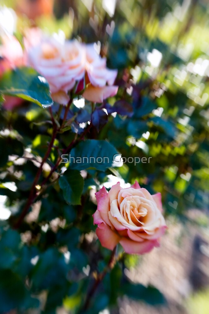 The Love of Roses by Shannon Beauford