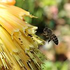 The Plight of our Honey Bees by Maree Clarkson