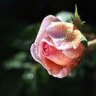 Beautiful Rose Bud Pink Lush by Joy Watson