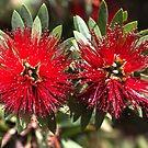 Beautiful Red Australian Native Flowers by Joy Watson