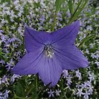 Campanula persicifolia by Marilyn Harris