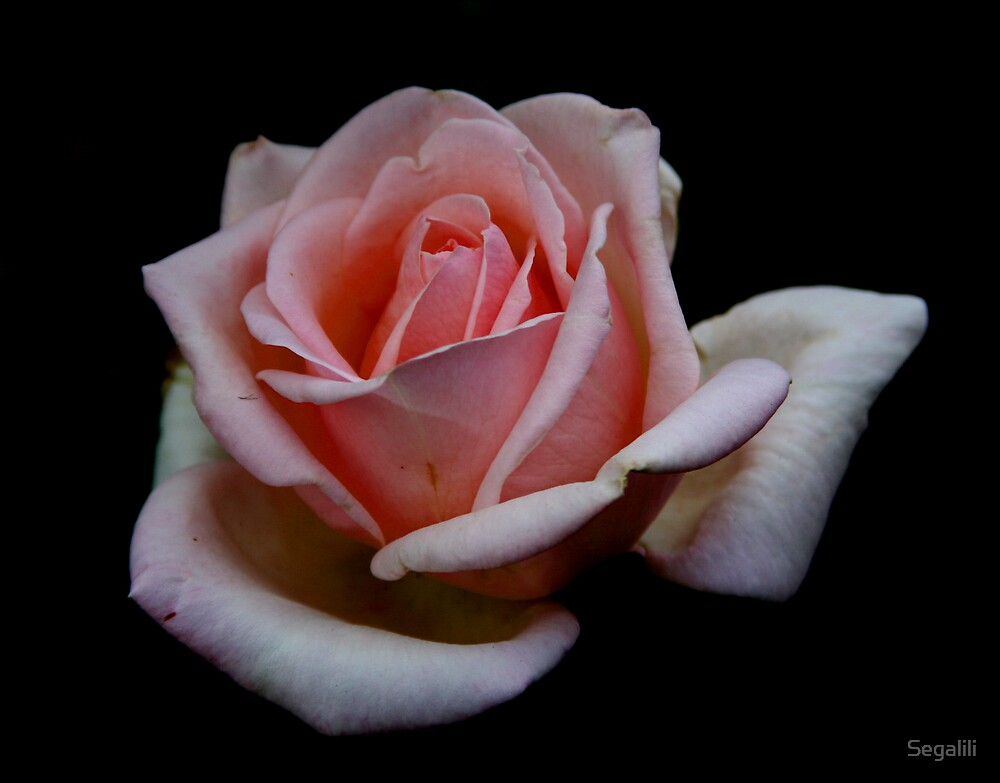 The Rose is Beauty by Segalili