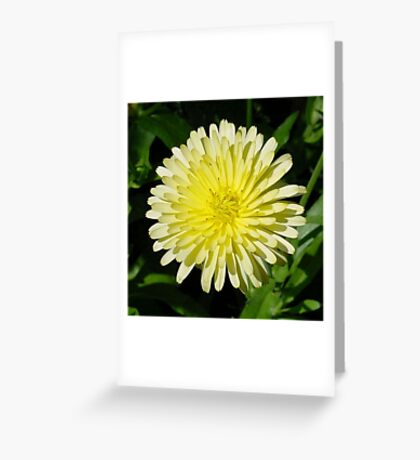 Pale Yellow Mary Bud Marigold With Garden Background Greeting Card