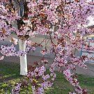 Red plum blossom by Ana Belaj