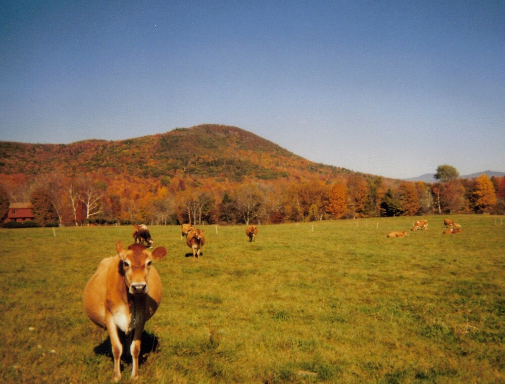 Moo in the fall  by Nicole Chambers