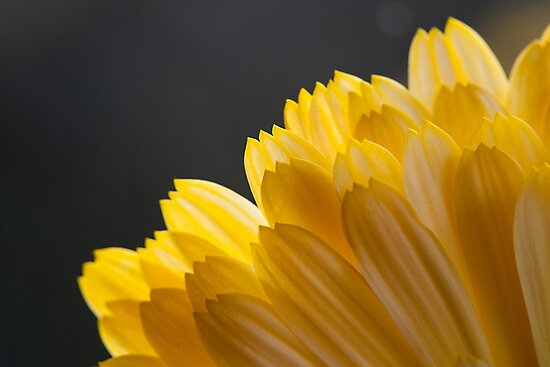marigold petals by codaimages
