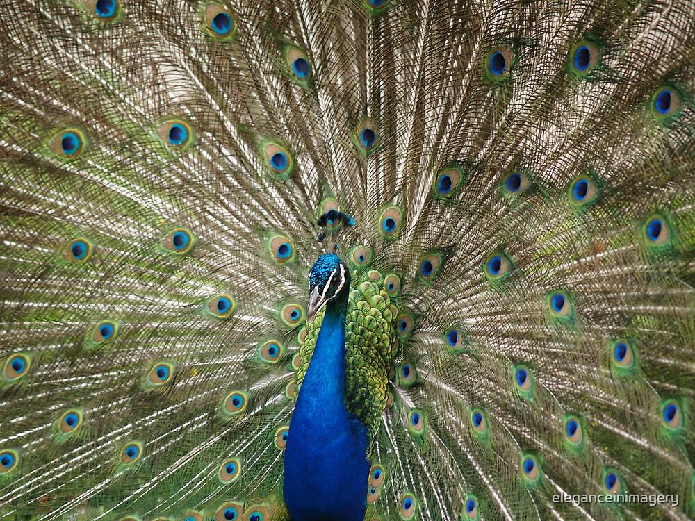 Peacock by eleganceinimagery