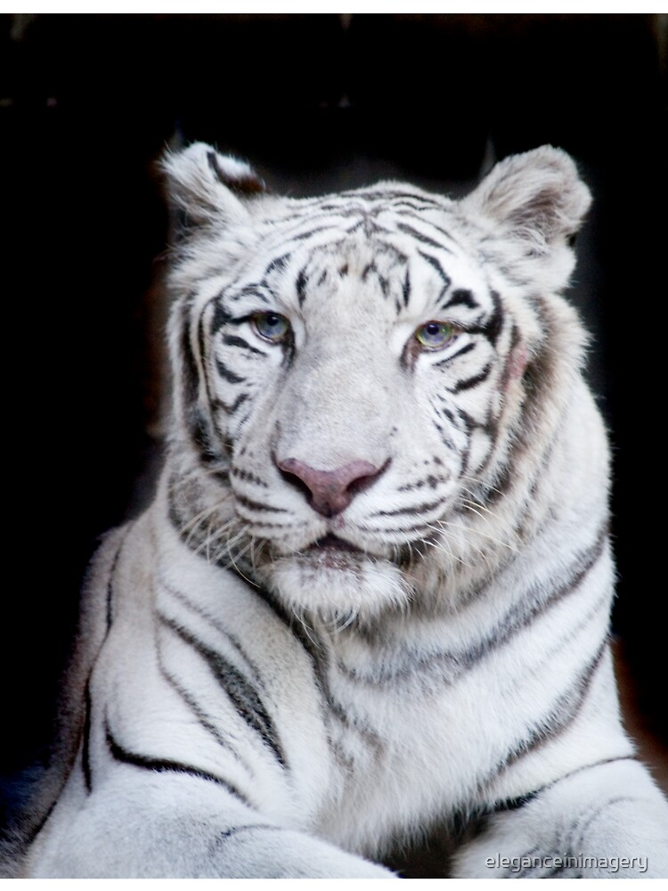 white tiger by eleganceinimagery