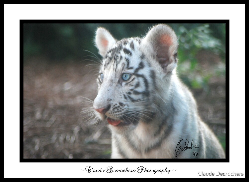 White tiger baby by Claude Desrochers