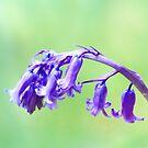 Bluebell in Scotland by Lynn Bolt