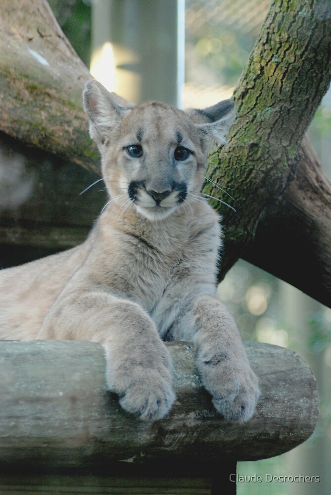 BABY PANTHER LOOKING by Claude Desrochers