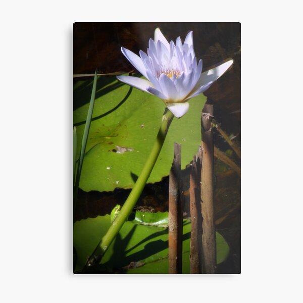 Frog and Lily Metal Print