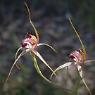 Spider Orchid Pair by kalaryder