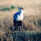 Secretary Bird by JaneRia