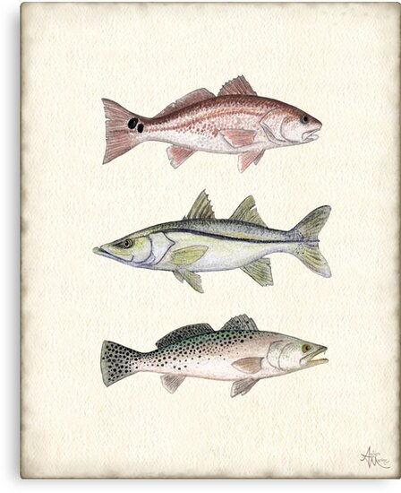 """""""Inshore Slam""""  by Amber Marine ~ watercolor redfish, snook, and trout art, © 2013 by Amber Marine ~ Wildlife Artist"""