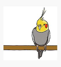 Cute cockatiel for bird lovers Photographic Print