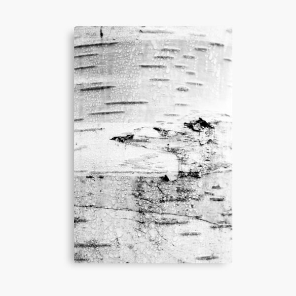 Silver Birch Canvas Print