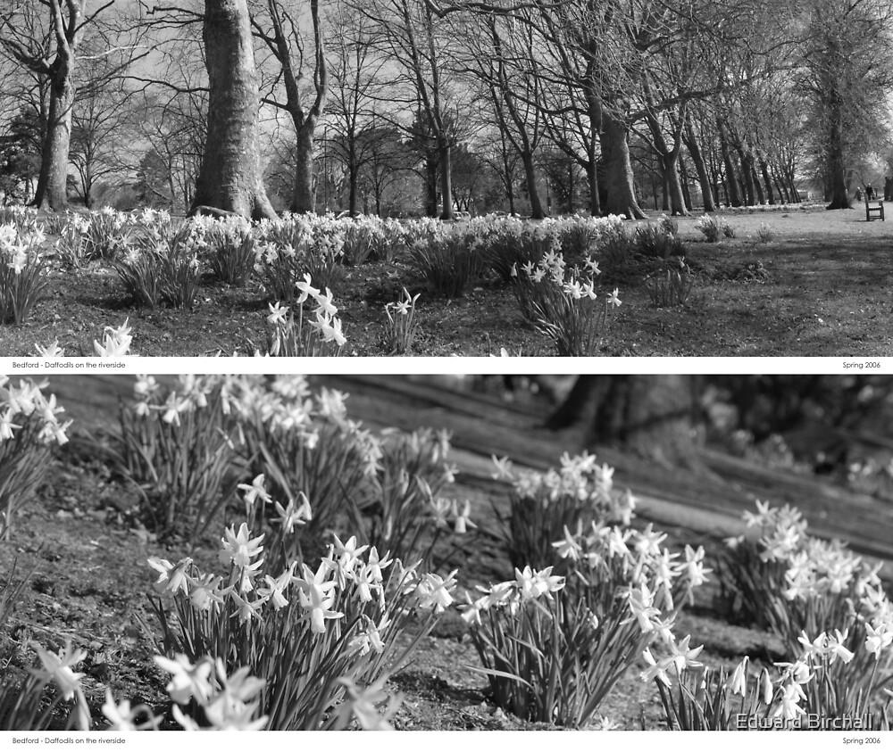Riverside Daffodils in Bedford by Edward Birchall