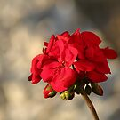 Bulleye Red Geranium by DonnaMoore