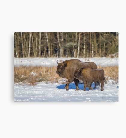 Bison Bonasus Canvas Print