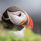 Puffin by Dominika Aniola