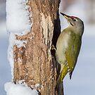 Grey-Headed Woodpecker by Dominika Aniola
