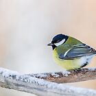 Male Great Tit by Dominika Aniola