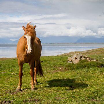 Icelandic Horse by domcia