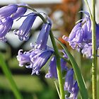 English Bluebells by Barrie Woodward