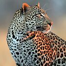 Great light and Leopard!! by Anthony Goldman