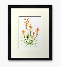 Red Hot Poker Aloe Plant in Watercolour Framed Print