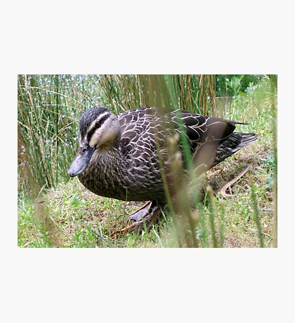 Mother Duck's Friend Photographic Print