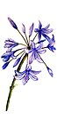 Agapanthus - Flowers by Linda Callaghan