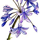 Agapanthus - Flowers by Linda Callaghan