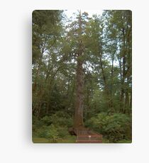 Tallest Sitka Spruce Tree Canvas Print