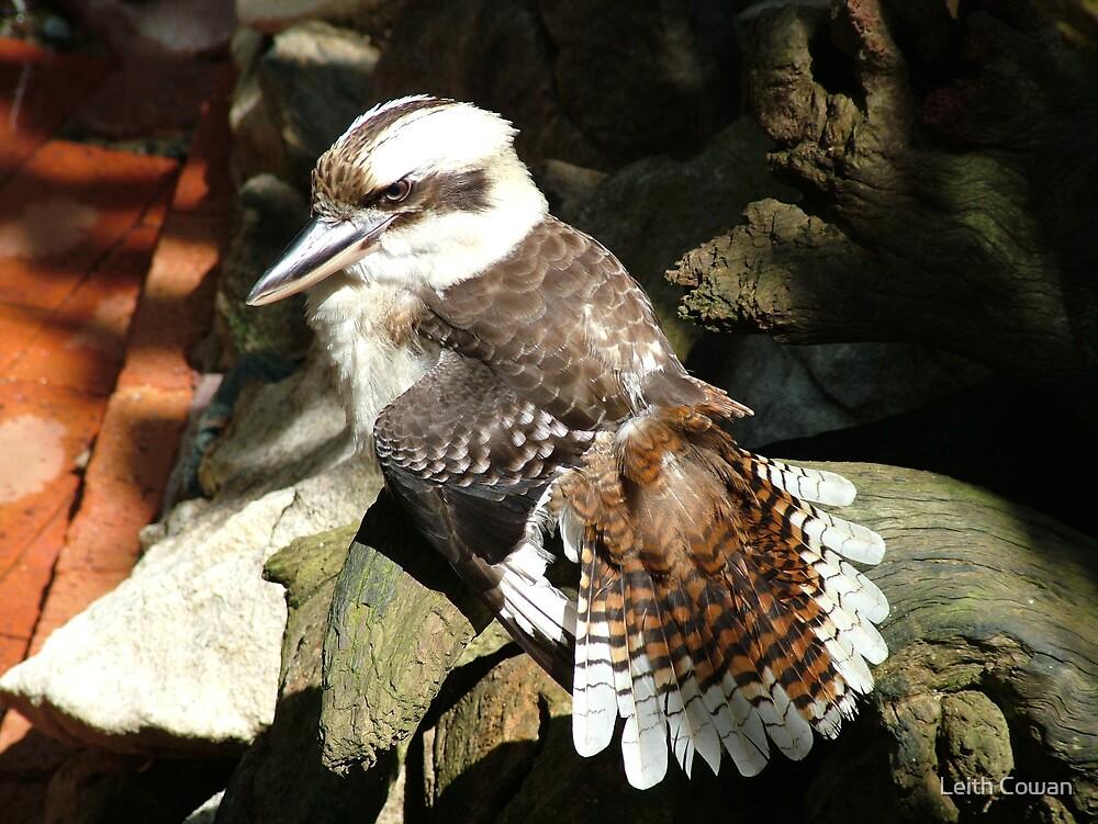 kookaburra by Leith Cowan