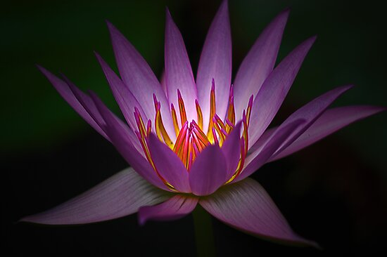 Waterlily Glow by Robyn Carter