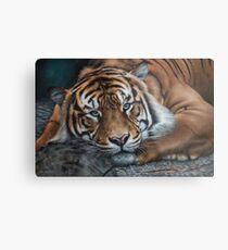 'Sumatran Tiger - Intensity' Metal Print